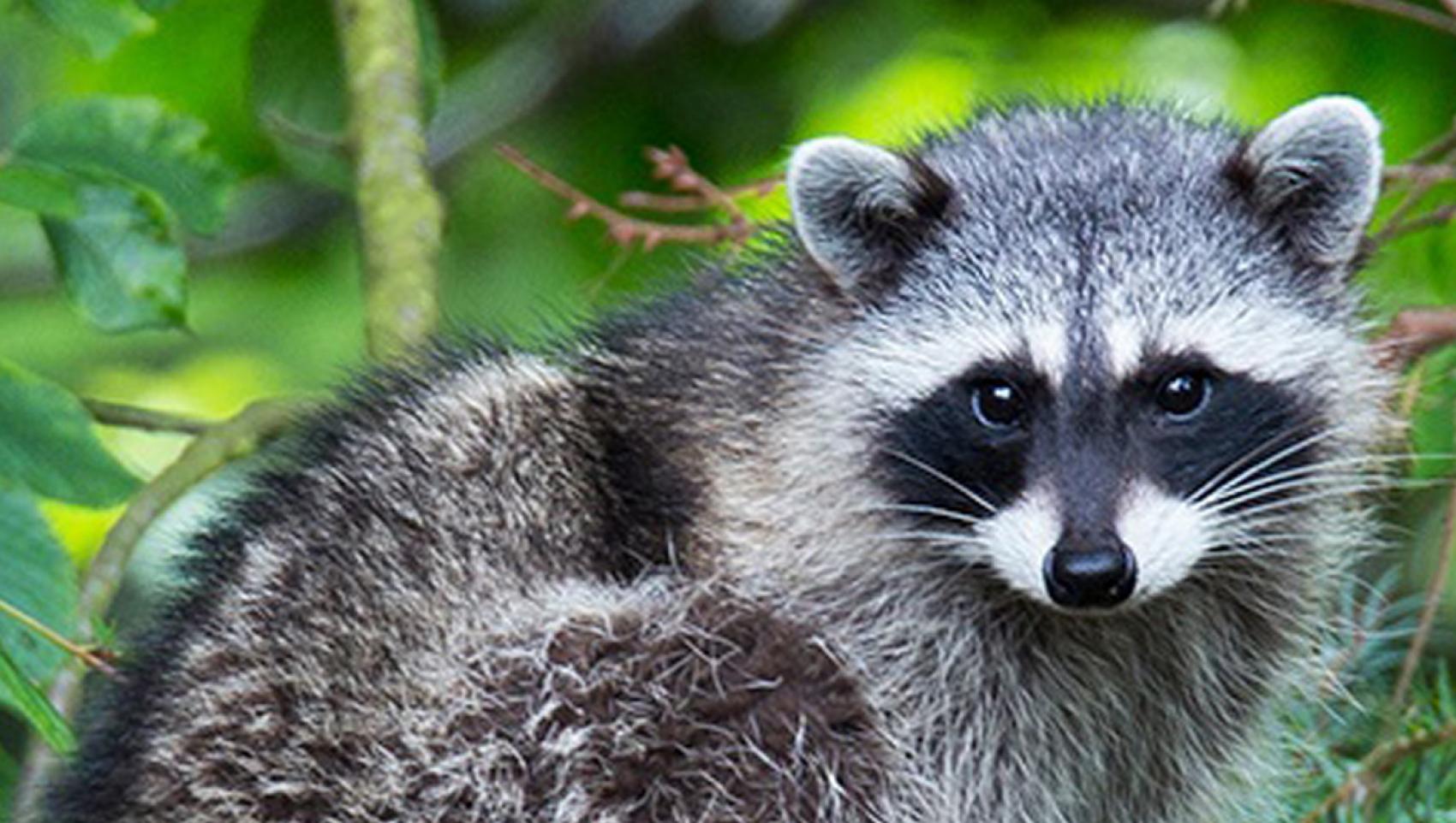 UBC-Humane-Wildlife-Control