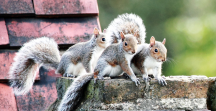 Grey squirrels, AnimalKind